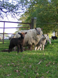 Ystrad Organics sheep